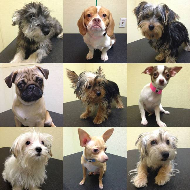 These are among 11 puppies saved from a Jan. 27 arson fire at a Las Vegas pet store that are up for raffle this week. The dogs include, top row, from left, Brenton, Keegan and Hayden; middle row, from left, Ethon, Elmo and Enya; and bottom row, from left, Fia, Neci and Effie.