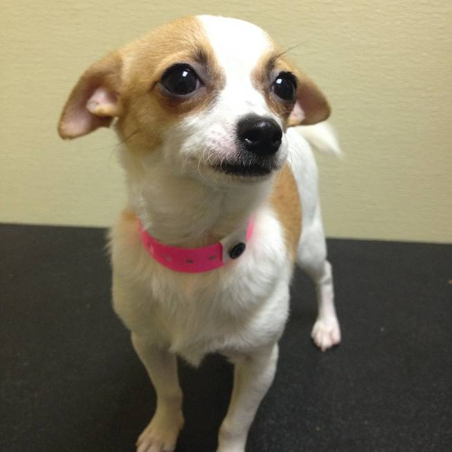 Nuri, a 5-month-old female Chihuahua shorthaired, is one of 11 Arson Puppies that as of 11 a.m. Monday had yet to have anyone bid to adopt her in a raffle.