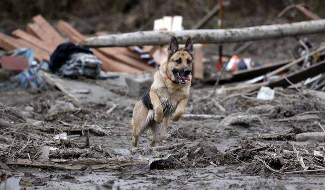 Search dog Stratus leaps through a debris field while working with a handler following a deadly mudslide, Tuesday, March 25, 2014, in Oso, Wash. At least 14 people were killed in the 1-square-mile slide that hit in a rural area about 55 miles northeast of Seattle on Saturday. Several people also were critically injured, and homes were destroyed.