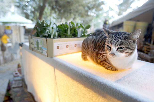 A cat sit on top of a terrarium used for raising chicks at The Farm, 7222 West Grand Teton Drive, Sunday, March 23, 2014. STEVE MARCUS