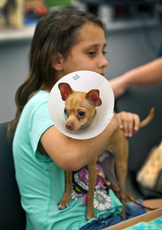 Haylee Martinez, 9, holds her newly adopted puppy Romo at the Animal Foundation on Wednesday, March 26, 2014.  He is a Chihuahua, 1 of 27 puppies rescued during a fire at the Prince and Princess Pet Shop on Jan. 27.