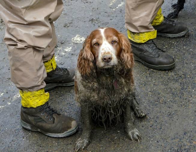 A search dog waits to be washed by the feet of Washington National Guardsmen after working the debris field created by the mudslide near Oso, Wash., March 27, 2014.