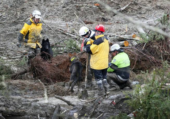 Two search and rescue dogs meet as they investigate a section of tree roots at the west side of the mudslide on Highway 530 near mile marker 37 on Sunday, March 30, 2014, in Arlington, Wash. Periods of rain and wind have hampered efforts the past two days, with some rain showers continuing today.