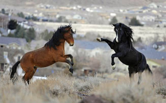 In this Jan. 13, 2010, file photo, two young wild horses play while grazing in Reno. Wild horse protection advocates say the government is rounding up too many mustangs while allowing livestock to feed at taxpayer expense on the same rangeland scientists say is being overgrazed.