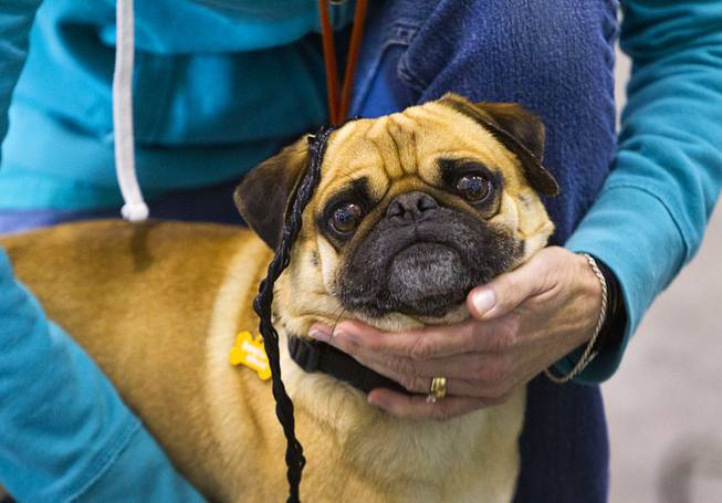 Bogo, a 4-year-old male Pug, prepares for the Animal Foundation's 11th annual Best in Show competition at the Orleans Arena Sunday, April 27, 2014. Bogo finished first in the small dogs division.
