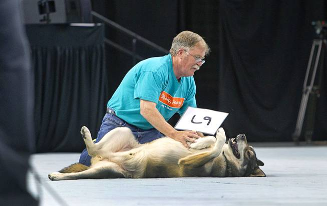 Keeper, a two-year-old Alaskan Malamute mix, rolls on her back for a belly rub, during the Animal Foundation's 11th annual Best in Show competition at the Orleans Arena Sunday, April 27, 2014.