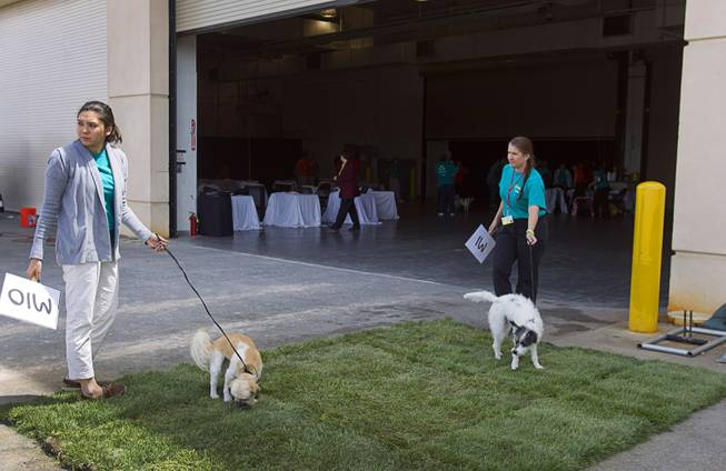Mickey, left, a two-year-old Shih Tzu mix, left, and Abigail, a five-year-old female terrier, take care of business before competing in the medium dog category during the Animal Foundation's 11th annual Best in Show at the Orleans Arena Sunday, April 27, 2014.