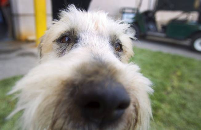 Storm, a 7-year-old Soft Coated Wheaten terrier, checks out the camera before the Animal Foundation's 11th annual Best in Show competition at the Orleans Arena Sunday, April 27, 2014.