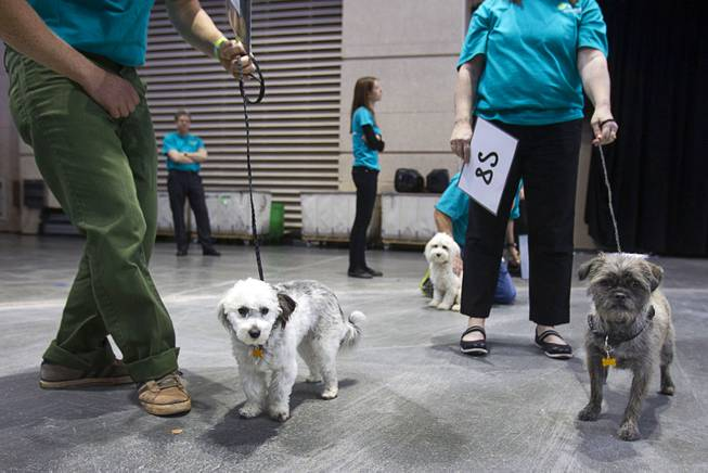 Small dogs wait to compete during the Animal Foundation's 11th annual Best in Show at the Orleans Arena Sunday, April 27, 2014.