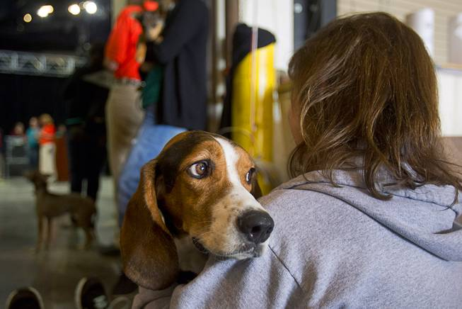 A Basset Hound named Stetson waits to compete during the Animal Foundation's 11th annual Best in Show at the Orleans Arena Sunday, April 27, 2014.