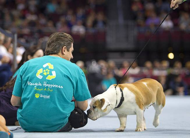 A bulldog name Gina stops to sniff a volunteer during the Animal Foundation's 11th annual Best in Show competition at the Orleans Arena Sunday, April 27, 2014.