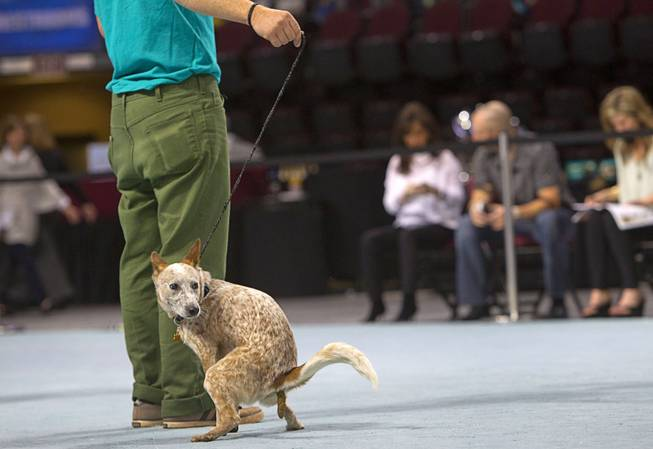 Frankie, an 11-month-old Australian cattle dog mix, has an accident on the show floor during the Animal Foundation's 11th annual Best in Show competition at the Orleans Arena Sunday, April 27, 2014.