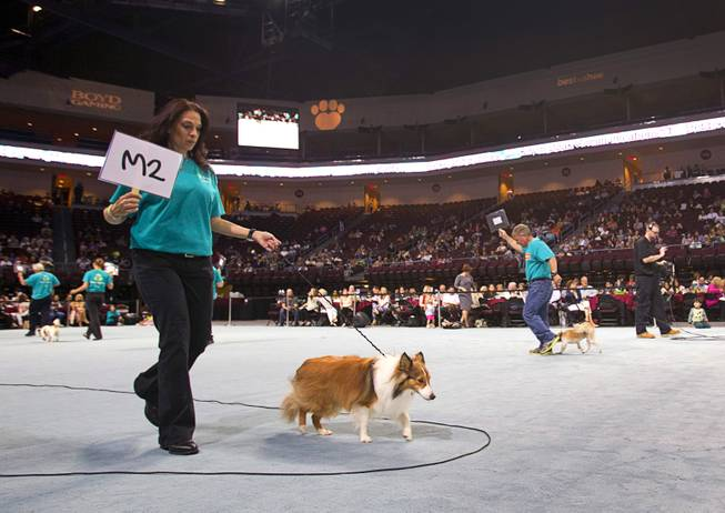 Colbie, an 11-month-old Shetland Sheepdog competes during the Animal Foundation's 11th annual Best in Show at the Orleans Arena Sunday, April 27, 2014.
