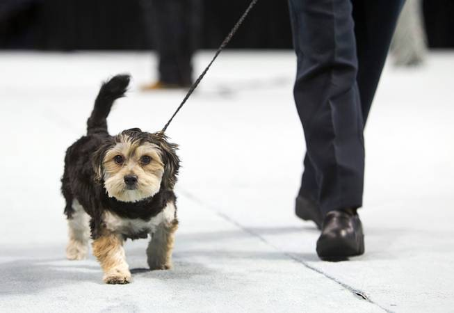 Riley, a six-month-old Maltese mix, competes in the puppy division during the Animal Foundation's 11th annual Best in Show at the Orleans Arena Sunday, April 27, 2014.