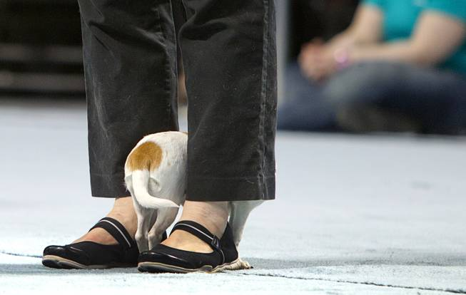 Luna, a three-year-old female Chihuahua, hides between the legs of a volunteer during the Animal Foundation's 11th annual Best in Show competition at the Orleans Arena Sunday, April 27, 2014.