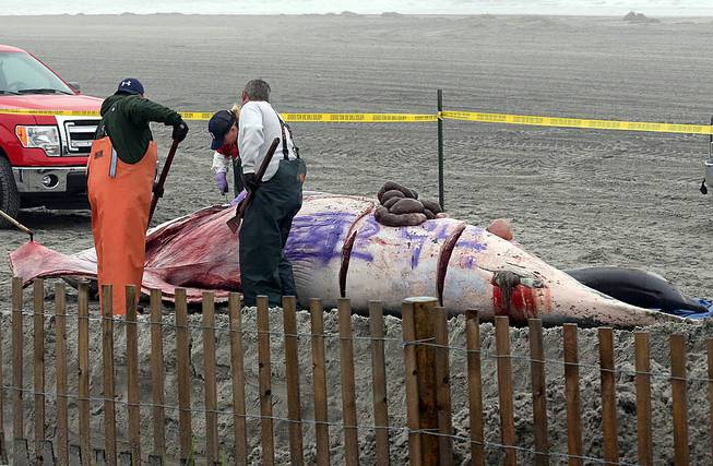 Bob Schoelkopf, right, director of the Marine Mammal Stranding Center, looks over a minke whale that washed up along with a common dolphin, in foreground, in Atlantic City, N.J., Thursday, May 1, 2014.