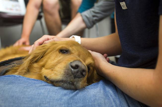 "Boise, a six-year-old Golden Retriever, rests in a student's lap during ""Paws"" for a Study Break at UNLV's Lied Library Wednesday, May 7, 2014. The library sponsored the second annual study break with certified therapy dogs from Love Dog Adventures to help calm students stressing over final exams."
