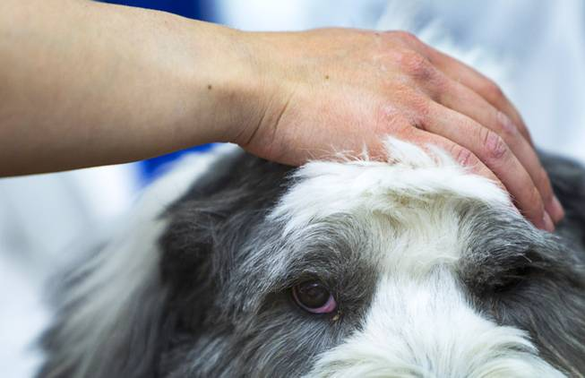 "George, a four-year-old Old English Sheepdog, is petted during ""Paws"" for a Study Break at UNLV's Lied Library Wednesday, May 7, 2014. The library sponsored the second annual study break with certified therapy dogs from Love Dog Adventures to help calm students stressing over final exams."