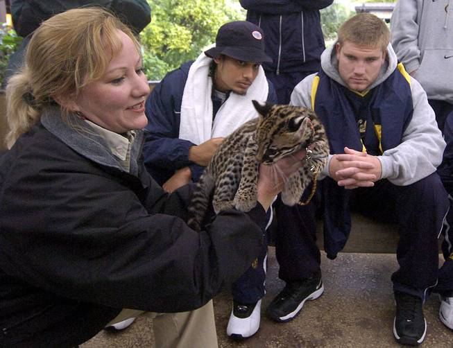 San Diego Zoo keeper Nicki Boyd, left, shows off a baby Ocelot named Diego as California players Reggie Robertson, center, and Tosh Lupoi, right, look on during a team visit to the San Diego Zoo Tuesday, Dec. 28, 2004, in San Diego. Cal will face Texas Tech in the Holiday Bowl on Thursday at Qualcomm Stadium in San Diego.