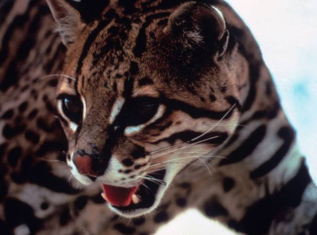 This undated picture provided by The Nature Conservancy shows an ocelot. The Nature Conservancy bought a 1,300-acre conservation easement on the San Francisco Ranch near Raymondville, Texas on Tuesday, Dec. 22, 2009, hoping to restore the grasslands to the thick thorn scrub habitat favored by the endangered felines.