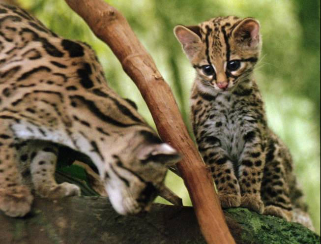 A male margay kitten, born June 24, 1997, watches it's mother after being put on display in the Cat House at the Cincinnati Zoo, Thursday, Sept. 18, 1997, in Cincinnati. The margay closely resembles the ocelot, but is smaller, has a more slender build, and a longer tail.