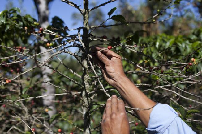 In this Feb. 9, 2013, file photo, small coffee producer Hector Perez show coffee beans damaged by the roya fungus in San Gaspar Vivar, Guatemala. The U.S. government is stepping up efforts to help Central American farmers fight a devastating coffee disease — and to keep the price of your morning cup down. A fungus called coffee rust has already caused more than $1 billion in damage across the Latin American region. It is especially deadly to Arabica coffee, the bean that makes up most high-end, specialty coffees, and it is already affecting the price of some of those coffees in the United States.