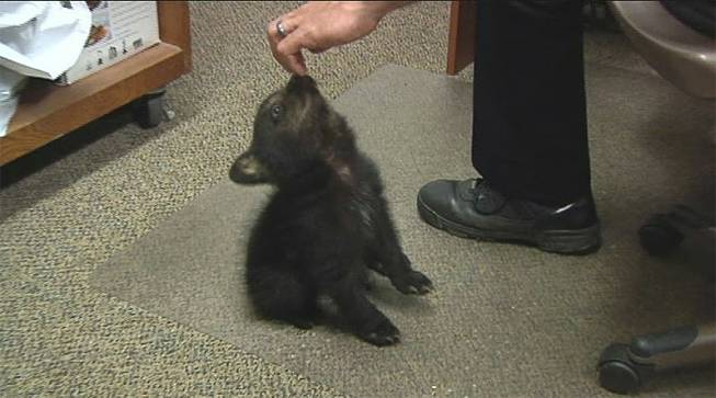 In this image from KPIC-TV video Tuesday, May 20, 2014, police in Myrtle Creek, Ore., watch after a female bear cub dropped off at the police station after a boy found the cub inside the city limits Monday, May 19, 2014.
