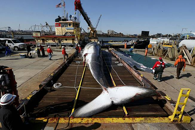 In this April 16, 2014, file photo, a deceased 55-foot long finback whale sits on a dry dock in Jersey City, N.Y., after it was pulled out of the water.