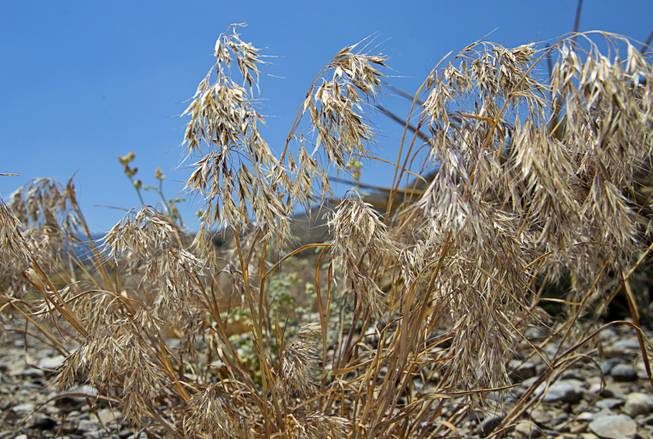 Cheatgrass is shown growing in a burned area on Mt. Charleston Tuesday, May 27, 2014. Cheatgrass is weed grass that is considered undesirable because it displaces native species and is highly flammable.