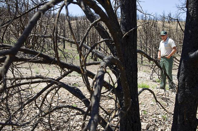 Randy Swick, left, Spring Mountains National Recreation Area manager, looks over burned juniper and pinyon pine trees near Harris Springs Road on Mt. Charleston Tuesday, May 27, 2014. The mountain is showing signs of recovery, about one year after the Carpenter 1 Fire that scorched almost 28,000 acres in 2013.