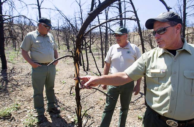 James Hurja, a United States Forest Service soil scientist and burn response coordinator for Mount Charleston; Randy Swick, Spring Mountains National Recreation Area manager, and Ron Bollier, USFS fire management officer, look over burned juniper and pinyon pine trees near Harris Springs Road on Tuesday, May 27, 2014, on Mount Charleston. The mountain is showing signs of recovery about one year after the Carpenter 1 Fire that scorched nearly 28,000 acres in 2013.
