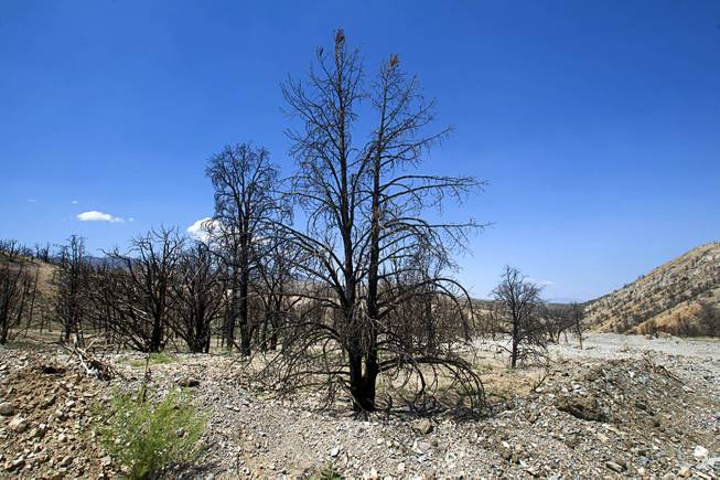A view of burned juniper and pinyon pine trees near Harris Springs Road on Mt. Charleston Tuesday, May 27, 2014. The mountain is showing signs of recovery, about one year after the Carpenter 1 Fire that scorched almost 28,000 acres in 2013.