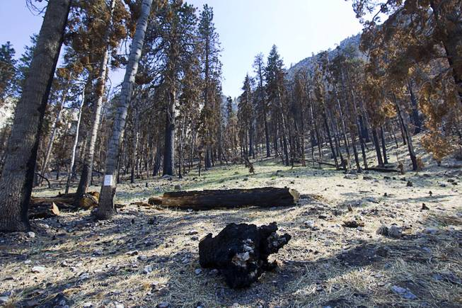 A view of a burned area at the Cathedral Rock Picnic Area on Mt. Charleston Tuesday, May 27, 2014. Straw was dropped by helicopter to act as mulch and minimize erosion. The mountain is showing signs of recovery, about one year after the Carpenter 1 Fire that scorched almost 28,000 acres in 2013.