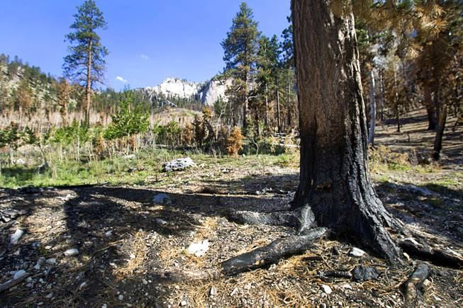 A Ponderosa pine tree is shown at the Cathedral Rock Picnic Area on Mt. Charleston Tuesday, May 27, 2014. The pines, with their thicker bark, are better at surviving fire than the Douglas fir. The mountain is showing signs of recovery, about one year after the Carpenter 1 Fire that scorched almost 28,000 acres in 2013.