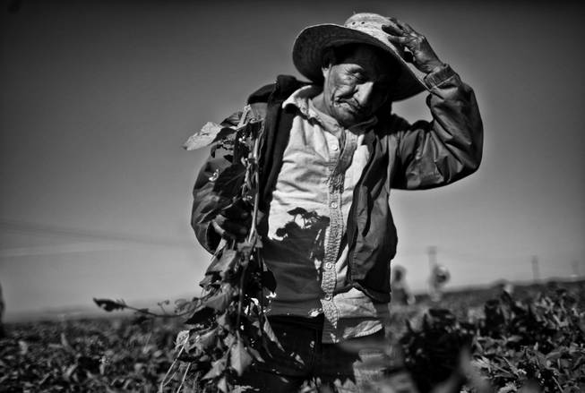 Hector Ramirez works in a field of tomato plants outside of Huron, California. During the season the areas farms need the most labor the work force doubles, but a drought has cut production and workers find trouble landing positions in the fields.
