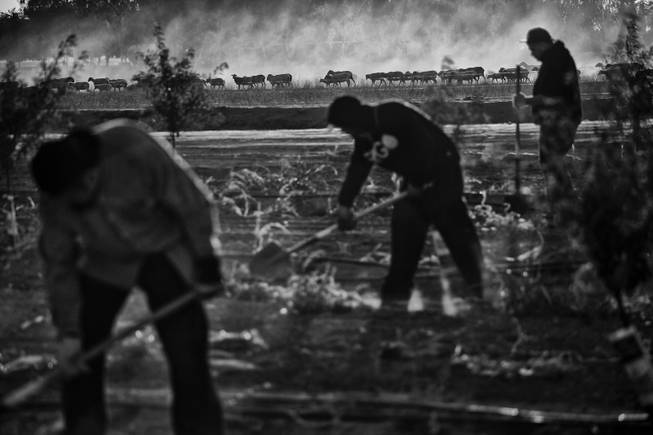 Workers weed a field of freshly planted almond trees outside of Huron, California. During the season the areas farms need the most labor the work force doubles, but a drought has cut production and workers find trouble landing positions in the fields.