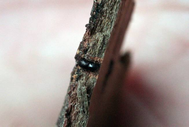 A polyphagous shot hole borer, smaller than a sesame seed, center, exposed by researcher Akif Eskalen at the Huntington Botanical gardens in Pasadena, Calif. The beetle bores into trees and spreads a fungus that attacks the vascular tissue of the tree and disrupts water and nutrient flow.