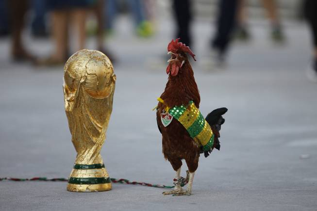 A pet rooster named Paquita Fred stands next to a replica of the World Cup trophy in front of Maracana stadium, in Rio de Janeiro, Brazil, Wednesday, June 11, 2014. The 11 year old rooster wearing a cape with the colors of the Brazilian national soccer team and a medallion of the local Fluminense soccer club gets his name from Fred, the Brazilian footballer who plays as a striker for Fluminense and is now one of the members of the national soccer team. The World Cup soccer tournament starts Thursday.