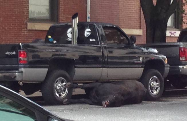 A cow shot by Baltimore police lies on a city street Friday, June 13, 2014. Police say the animal escaped from a city slaughterhouse and was shot after concerned business owners contacted police.