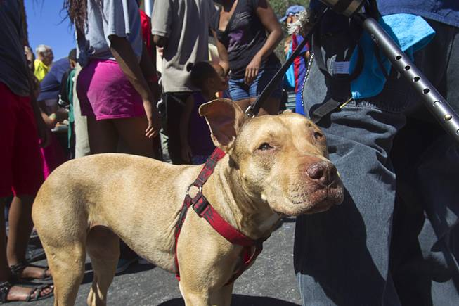 """Sexy Momma,"" a seven-year-old pit bull, is shown during a Downtown Community Coalition neighborhood cleanup near Fremont Street and 21st Street Tuesday, June 17, 2014. A variety of community, church and business groups, along with Metro Police and the City of Las Vegas, participated in the event."