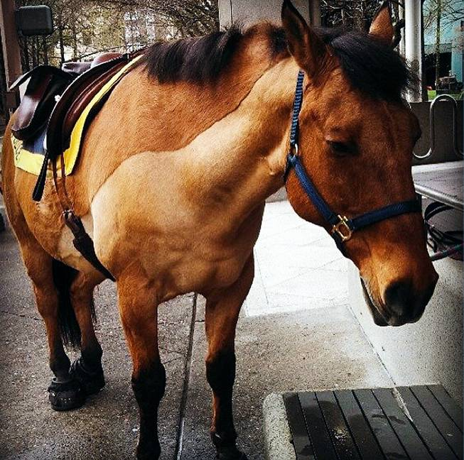 This undated image provided by the Portland Police department shows Olin, a police horse involved in a kicking incident, Wednesday, July 9, 2014, in Portland, Ore.