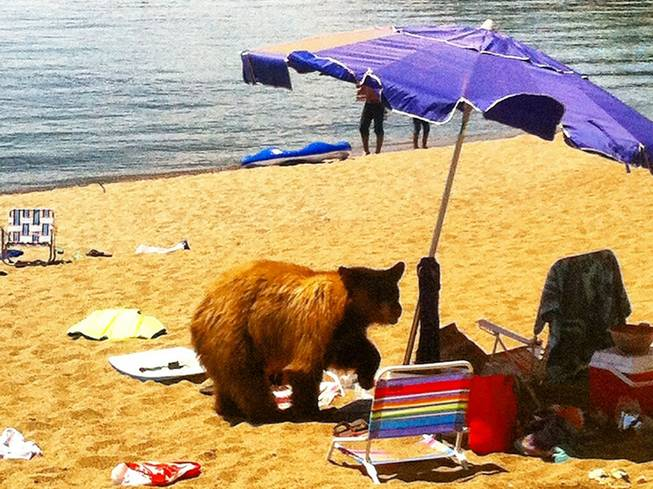 This photo provided by the Nevada Department of Wildlife shows a black bear Wednesday, July 9, 2014,  on a Lake Tahoe beach in Glenbrook. The bear had to be killed by state wildlife officials because it had become a threat to public safety. It was the seventh bear the Nevada Department of Wildlife has captured at Tahoe in 10 days. The others were released back to the wild. Nevada Department of Wildlife officials say lingering drought is forcing bears to expand their search for food into urban areas.