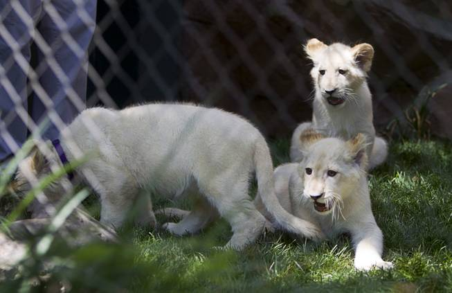 White lion cubs are shown at Siegfried & Roy's Secret Garden and Dolphin Habitat Thursday, July 17, 2014. Siegfried Fischbacher and Roy Horn introduced the three 14-week-old cubs, born in South Africa, which will bring new genes into Siegfried and Roy's conservation program.