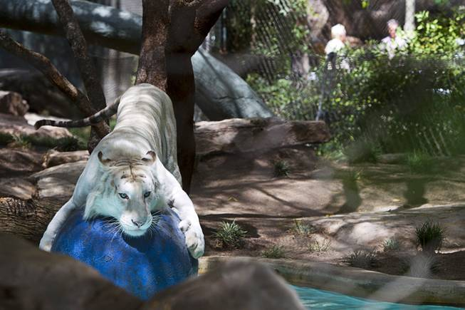 A white tiger plays in an enclosure at Siegfried & Roy's Secret Garden and Dolphin Habitat Thursday, July 17, 2014. Siegfried Fischbacher and Roy Horn introduced the three 14-week-old cubs, born in South Africa, which will bring new genes into Siegfried and Roy's conservation program.