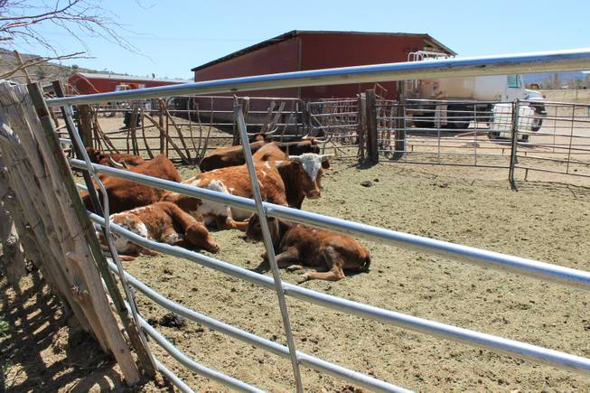"Cattle in recreation during the video shoot for Melody Sweets' ""Shoot 'em Up"" at Grand Canyon Ranch on April 22, 2014."