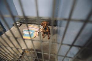 An unnamed dachshund puppy is in holding at the Lied Animal Shelter Tuesday, July 22, 2014.