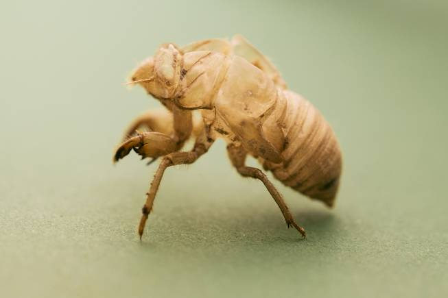 After 2 to 17 years depending on the type, cicadas emerge from the ground as nymphs. Nymphs climb the nearest available tree, and begin to shed their exoskeleton.
