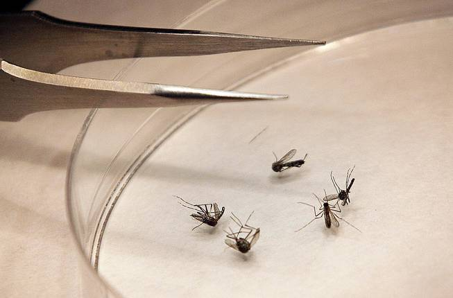 In this Aug. 16, 2012, file photo, mosquitoes are sorted at the Dallas County mosquito lab in Dallas. Infectious diseases that used to be unknown in Nevada could become a greater threat here as mosquitoes associated with maladies such as the chikungunya virus spread around the globe.