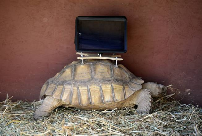 This Saturday, Aug. 2, 2014, photo shows a tortoise with an iPad mounted on its back. A group of protesters are objecting to Aspen Art Museum officials who plan to place iPads on tortoises during an art exhibition this weekend.