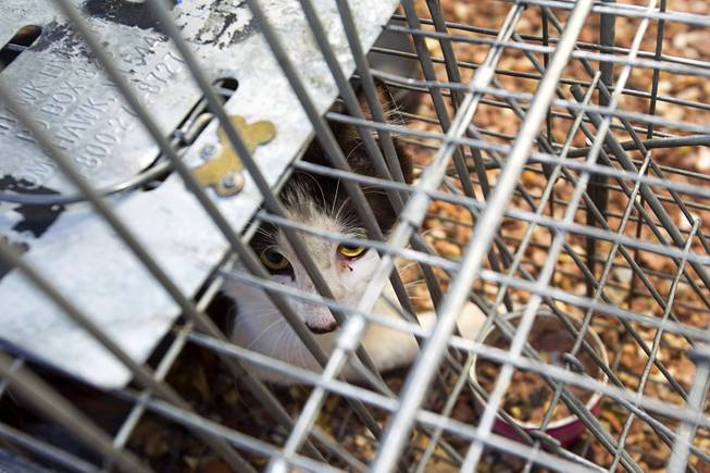 A trapped cat is shown in a cage in North Las Vegas Thursday Aug. 14, 2014. North Las Vegas Animal Control officer Dale Smock recently helped clear a house of over 100 cats. The house has since been condemned.